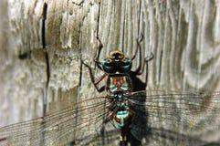 dragonfly конца 2 вверх Стоковая Фотография RF