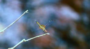 Dragonfly красивый, в своей естественной среде обитания Стоковые Фото