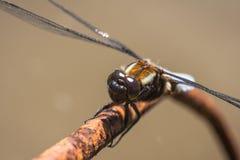 dragonfly крупного плана Стоковое фото RF