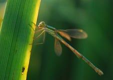 Dragonfly макроса Стоковые Изображения