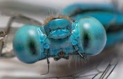 Dragonfly макроса Стоковое Фото