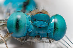 Dragonfly макроса Стоковое фото RF