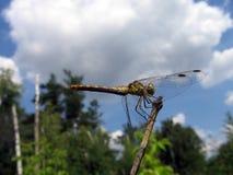 dragonfly малый Стоковые Изображения RF