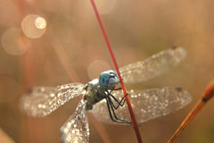 Dragonfly наблюданный синью стоковые фотографии rf