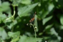 Dragonfly насекомого макроса Стоковые Изображения