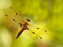 Dragonfly, насекомое на предпосылке вегетации Стоковая Фотография