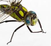 Dragonfly на белизне Стоковое фото RF