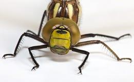 Dragonfly на белизне Стоковые Изображения RF