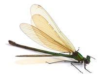 Dragonfly на белизне Стоковые Фото