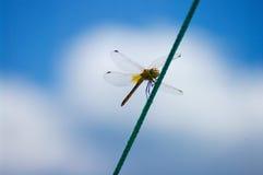 Dragonfly на веревочке field вал стоковое изображение