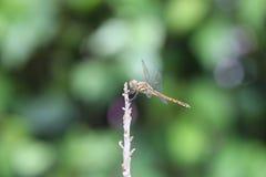 Dragonfly на верхней части дерева Стоковые Фотографии RF