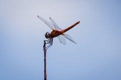 Dragonfly на верхней части дерева с голубым небом Стоковые Изображения