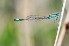 Dragonfly на ветви, большая деталь Стоковые Фото