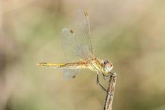 Dragonfly на ветви, большая деталь Стоковая Фотография