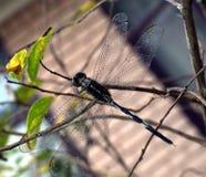 Dragonfly на ветви вала стоковая фотография