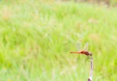 Dragonfly на ветви в природе, предпосылке нерезкости стоковые изображения rf