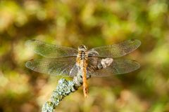Dragonfly на ветви в саде Стоковые Изображения RF
