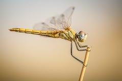 Dragonfly на ветви с плоским дном и космосом для текста Стоковая Фотография
