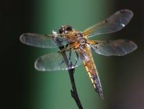 Dragonfly на ветви Стоковая Фотография