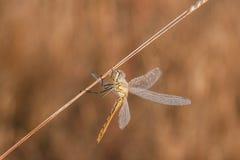 Dragonfly на восходе солнца стоковая фотография rf