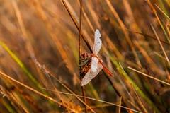 Dragonfly на восходе солнца стоковое фото