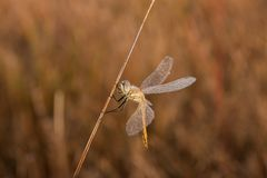 Dragonfly на восходе солнца стоковая фотография