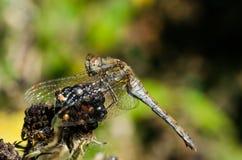 Dragonfly на ежевике Стоковая Фотография