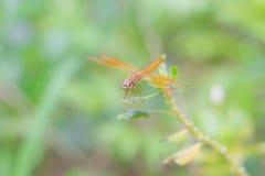 Dragonfly на дереве Стоковое Изображение RF