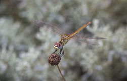 Dragonfly на заводе Стоковые Фото