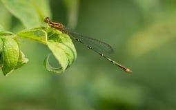 Dragonfly над зелеными лист Стоковая Фотография RF