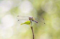 Dragonfly на зеленых лист Стоковая Фотография RF