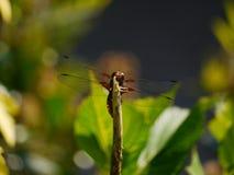 Dragonfly на листьях Стоковое Изображение RF