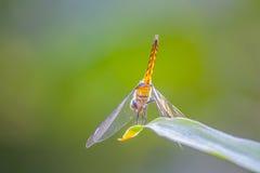 Dragonfly на листьях Стоковые Изображения