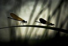 Dragonfly на листьях Стоковое фото RF