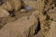 Dragonfly на камне Стоковые Фотографии RF