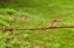 Dragonfly на колючей проволоке Стоковые Изображения