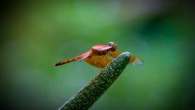Dragonfly на конце-вверх pistil стоковое изображение