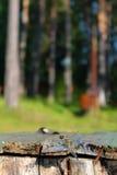 Dragonfly на краю стенда на предпосылке деревьев Стоковые Фото