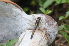 Dragonfly на лопате стоковые фото