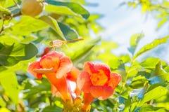 Dragonfly на оранжевом creeper трубы подсвеченном, близкое поднимающем вверх цветка Стоковые Изображения