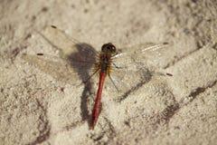 Dragonfly на песке Стоковые Фото