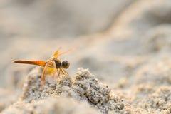 Dragonfly на песке Стоковое фото RF