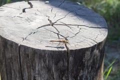 Dragonfly на пне Стоковая Фотография