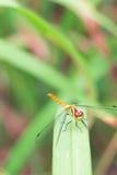 Dragonfly на поле Стоковые Фото
