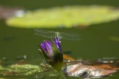 Dragonfly на пурпурном цветке лотоса стоковые изображения rf
