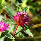 Dragonfly на розовом клевере Стоковые Фото