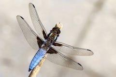 Dragonfly на ручке Стоковая Фотография