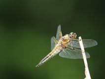 Dragonfly на ручке Стоковое фото RF