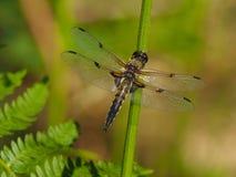 Dragonfly на соломе Стоковые Изображения