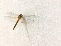 Dragonfly на стене стоковое фото rf